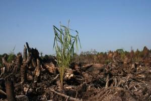Un plantón de palma aceitera en un área de turba quemada, en Indonesia. En la agenda de la UICN hay mociones que incluyen mitigar su impacto en la biodiversidad. Crédito: Cortesía de Wetlands International.