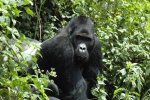 """Cuatro de las seis especies de grandes simios están en la categoría de """"en peligro crítico de extinción"""" de la Lista Roja de Especies Amenazadas. Crédito: Cortesía, Unión Internacional para la Naturaleza (UICN)."""