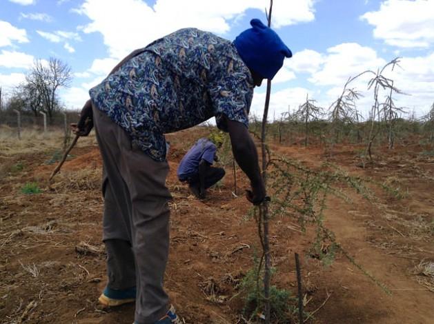Un técnico del Instituto de Investigación Forestal de Kenia poda una acacia en el terreno seco del sitio de pruebas ubicado en Tivu, en el oriental condado de Kitui. Crédito: Justus Wanzala/IPS.