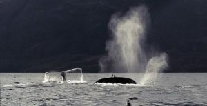 Ballenas jorobadas y delfines son parte del rico hábitat en el golfo de Otway, en el estrecho de Magallanes, frente a la mina Invierno en la isla de Riesco, en la Patagonia de Chile, en el extremo meridional de América. Crédito: José Antonio de Pablo/ Alerta Isla Riesco