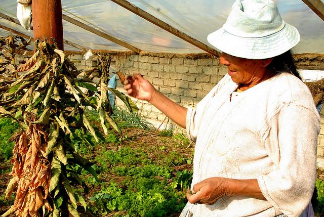 Una campesina muestra una de las plantas marchitas en su pequeño invernadero por falta de agua de riego, en una localidad cercana a Sucre, la capital oficial de Bolivia. Crédito: Franz Chávez/IPS