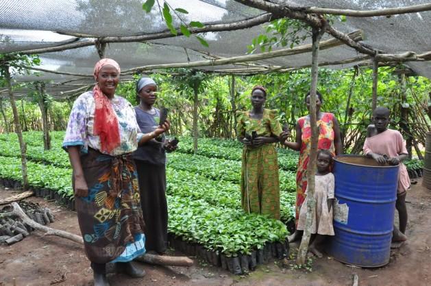 Operadores de un vivero cultivan plántulas mejoradas del café robusta en Uganda. Crédito: IITA