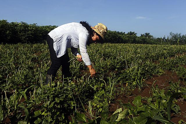 La productora Iraida Semino recolecta habichuelas (Phaseolus vulgaris) en la finca La Maravilla perteneciente a la Cooperativa de Créditos y Servicios Fortalecida Roberto Negrín González, en Punta Brava, en el municipio de La Lisa, en la periferia de la capital de Cuba. Crédito: Jorge Luis Baños/IPS