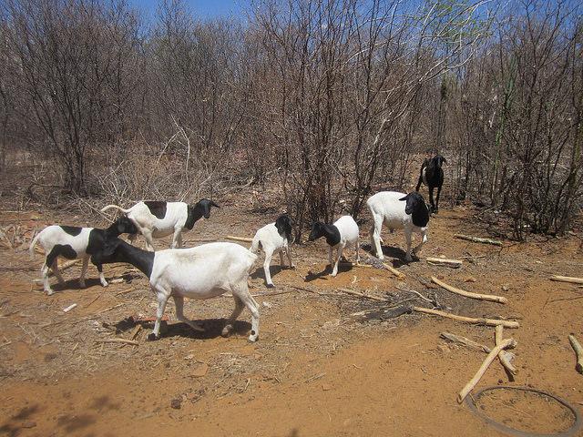 Ovejas y carneros logran alimentarse en la Caatinga, vegetación del Semiárido Brasileño, aparentemente seca, tras cinco años de lluvias escasas. Crédito: Mario Osava/IPS.