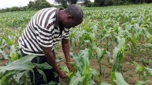 El agricultor Surrender Hamufuba inspecciona su plantación de maíz en Zambia. Los expertos aseguran que el cambio climático agrava las plagas en los cultivos africanos. Crédito: Friday Phiri / IPS