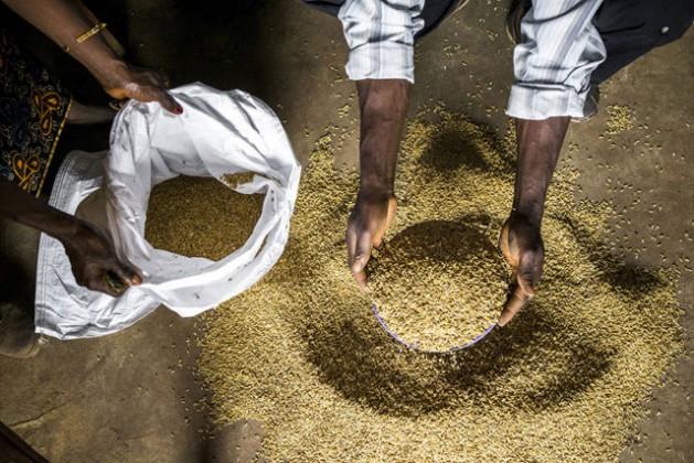 Agricultores revisan semillas de arroz en Sierra Leona. Crédito: FAO.