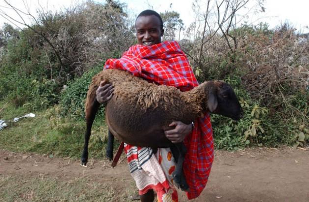 La cultura de los pueblos indígenas tiende proteger una buena gestión de la fauna silvestre. En la foto, un pastor maasai carga a una oveja embarazada en Narok, Kenia. Crédito: FAO