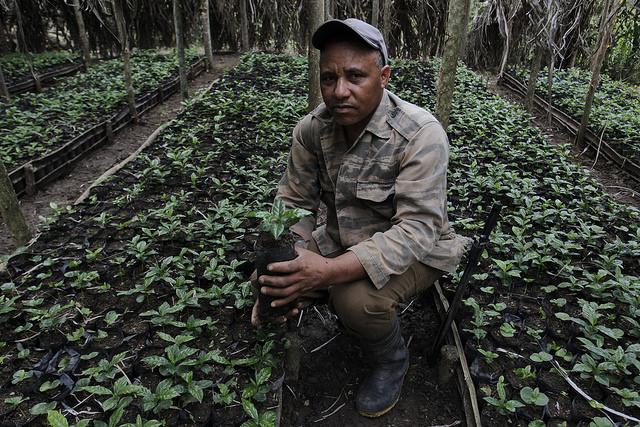 El caficultor Roberto Martínez en el vivero donde cultiva las nuevas plantas para trasplantar después al área de cafetales de su finca, en un área rural en las inmediaciones de Palenque, capital del municipio de Yateras, en el oriente de Cuba. Crédito: Jorge Luis Baños/IPS