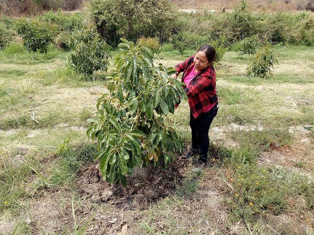 Jilder Morales atiende una joven planta de aguacate, en su parcela dentro del ejido donde 55 campesinos se unieron en 2014 para producir sus tierras y mejorar su alimentación y su economía, en el pueblo de Santa Ana Coatepec, con una situación de alta marginación en el sur de México. Crédito: Emilio Godoy/IPS