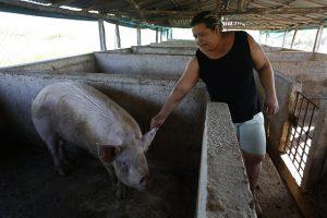 La productora Hortensia Martínez, en uno de los corrales para la cría de cerdos en la finca La China, en las afueras de La Habana. Las excretas porcinas sirven para la producción de biogás en cada vez más instalaciones de Cuba dedicadas al este rubro, incluso en el ámbito doméstico. Crédito: Jorge Luis Baños/IPS