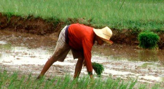 En Bolivia la cría de ganados en sistemas silvopastoriles, que combinan cultivos y animales, ha tenido un impacto positivo en reducir el impacto de las sequías. Crédito: FAO