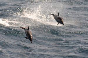 El delfín listado (Stenella couruleoalba) es uno de los cetáceos del llamado mar Argentino, la plataforma continental del país sobre el sur del océano Atlántico, cuya caza está prohibida por una ley vigente desde 2002. Crédito: Cortesía de Leo Berninsone