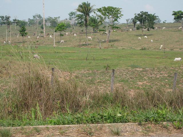 Un hato de vacas pasta en tierras deforestadas de la Amazonia, en el norte de Brasil. El tipo de ganadería extensiva que se práctica en la región es de baja productividad y sirve en muchas ocasiones para la ocupación ilegal de tierras públicas. Crédito: Mario Osava/IPS