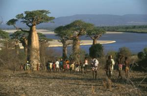 Un grupo de personas se encamina hacia el río Mangoky, en Madagascar, pasando al lado de baobabs, cuyas hojas y frutos son fuente de alimentos para las personas y forraje para los animales. Crédito: Aris Mihich/FAO.