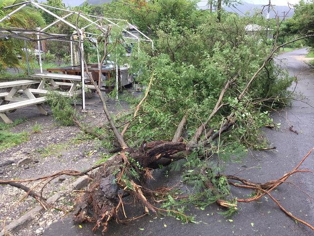 Un árbol tirado por el huracán María en Antigua. Crédito: Desmond Brown/IPS.