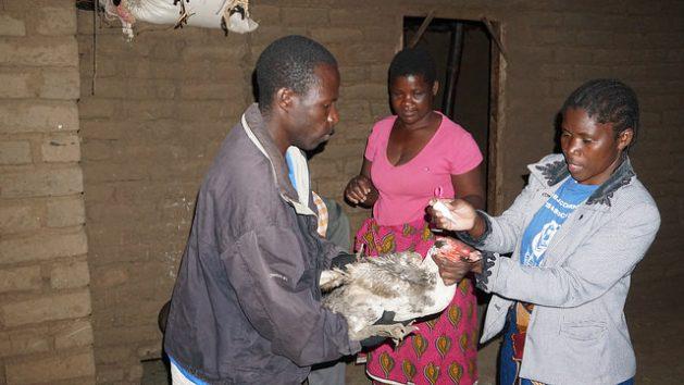 Lucha comunitaria contra enfermedad aviar en Malawi