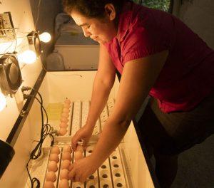 Sandra Leticia Gregorio, Leti, revisando los huevos en su incubadora. Crédito: ONU Guatemala