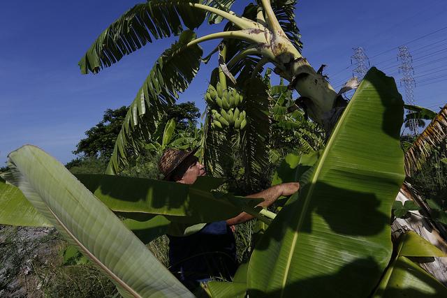 Orlando Corrales cultiva plantas forrajeras intercaladas dentro de plantaciones de banano, utilizando las hojas y tallos para el alimento de su ganado en la finca Jibacoa, delimitada por cercas vivas, en el sur de la capital de Cuba. Crédito: Jorge Luis Baños/IPS