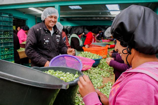 Uno de los centros de acopio donde se procesan minivigetales para exportación en el departamento de San Marcos, en Guatemala. Crédito: Jorge Rodríguez/FAO