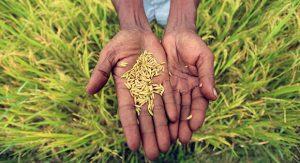 Las aplicaciones nucleares en agricultura dependen del uso de isótopos y de técnicas de radiación para combatir plagas y enfermedades, aumentar la producción y los recursos hídricos, asegurar la seguridad alimentaria y elevar la producción animal. Crédito: FAO
