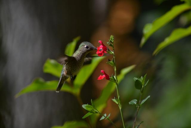 El colibrí, uno de los agentes de la zoopolinización en los países latinoamericanos. Crédito: FAO