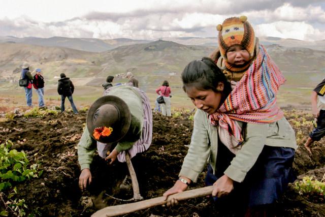 Dos productoras de papa mientras las extraen en Pampas, a 3.276 metros sobre el nivel del mar, en la región andina de Huancavelica, en el centro de Perú, durante una visita de especialistas que acompañó IPS a la zona que alberga la mayor variedad de papas nativas del país. Desde Perú, el tubérculo se extendió a todo el mundo. Crédito: Mariela Pereira/IPS