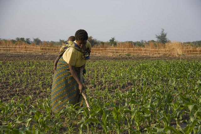 """Las mujeres son la mayoría en la pequeña agricultura en África. La evidencia muestra que cuando ellas están empoderadas, las granjas son más productivas, se gestionan mejor los recursos naturales, mejora la nutrición y se aseguran las fuentes de ingreso"""": José Graziano da Silva, directora general de la FAO. Crédito: Kristin Palitza/IPS."""