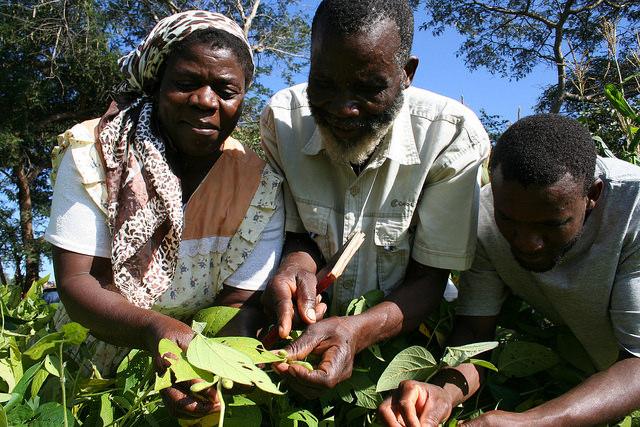 El agricultor zimbabuense Handrixious Zvomarima (centro) y familiares admiran su cultivo de caupí, en el distrito de Shamva, plantado con técnicas de la agricultura de conservación. Crédito: Busani Bafana/IPS.
