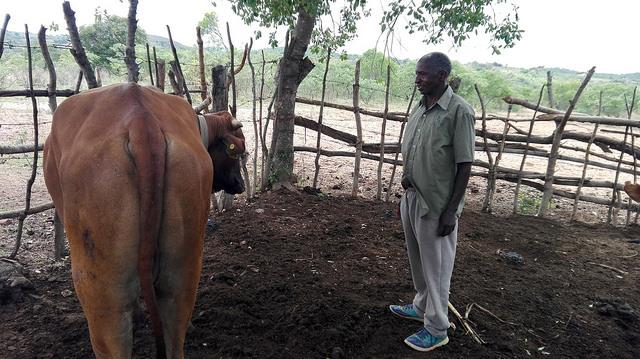 El agricultor zambiano Lameck Sibukale muestra su nuevo buey, que compró gracias a las ganancias de su cooperativa de ahorro. Crédito: Friday Phiri/IPS