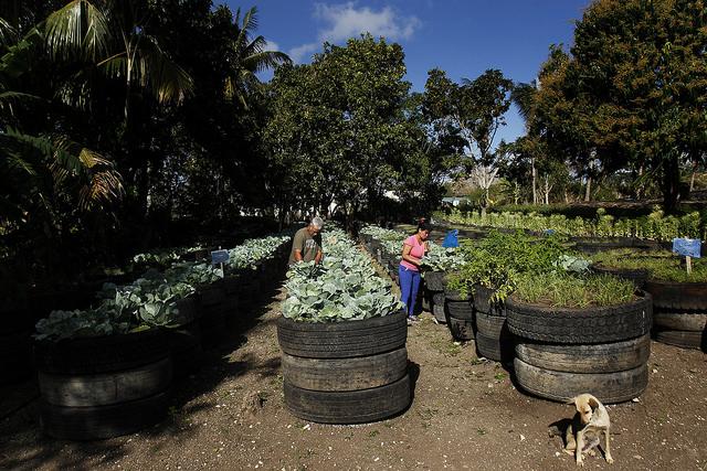 La pareja de horticultores Carlos Manuel Borrero y Dunia Rivas forman altos canteros con neumáticos superpuestos y rellenos con tierra, donde crecen coles y estragón, en la finca La Melissa, que gestionan en el municipio de San Miguel del Padrón, en la periferia de la capital de Cuba. Crédito: Jorge Luis Baños/IPS