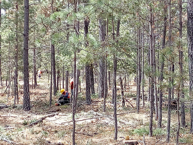 Una tala controlada en un lote del ejido Pueblo Nuevo, en el norteño estado de Durango, en México. La reforestación y el clareo o corte de los especímenes forestales más viejos o más delgados son prácticas para cultivar árboles más grandes y sanos, así como restaurar el suelo. Crédito: Emilio Godoy/IPS