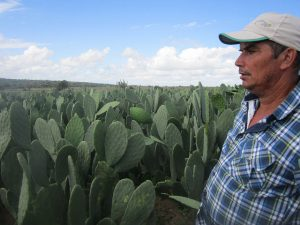 José Antonio Borges en el su sembradío del cactus forrajero, ya listo para su cosecha. Es la alimentación básica de sus 30 vacas, lo que le permite producir 400 litros diarios de leche, con un doble ordeño mecanizado, en Ipirá, en la cuenca de Jacuípe, en la nordestina ecorregión del Semiárido brasileño, donde el óptimo uso del agua está transformando la agricultura y ganadería familiar. Crédito: Mario Osava/IPS