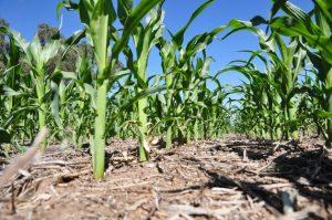 Un maizal en la nororiental provincia de Santa Fe. En los últimos 20 años, el gobierno argentino aprobó la comercialización de distintas variedades transgénicas de maíz, la mayor parte modificadas para resistir herbicidas e insecticidas. Crédito: Cortesía de Aapresid