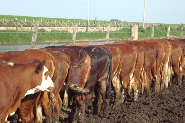 Un grupo de vacas se amontona para alimentarse ante los pesebres instalados en los corrales de engorde al aire libre, conocidos como feedlots, que se han impuesto en Argentina, a medida que la ganadería intensiva se ha impuesto al modelo extensivo en el país. Crédito: Cortesía de Ana Garcia