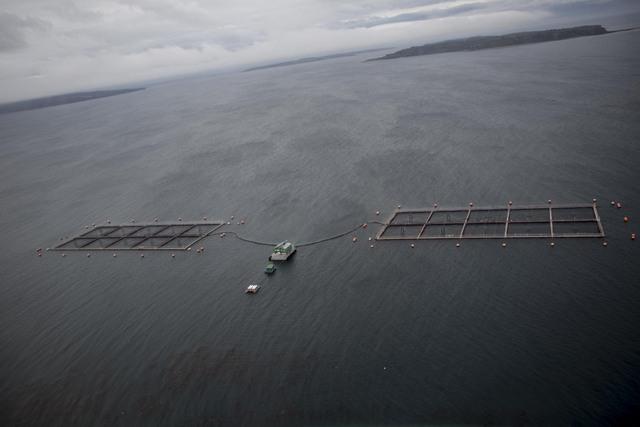 Jaulas de salmones en el océano Pacífico, en Chile. Los salmones fueron introducidos en este país y en las últimas décadas generaron una importante industria, pero se ha cuestionado su impacto en el ambiente y en la salud de las personas. Crédito: Cortesía de Daniel Casado