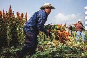 Un productor recolecta plantas de amaranto en una plantación en el estado de Oaxaca, en el sur de México. Ese grano, del cual México es origen de dos de sus variedades, forma parte de la alimentación tradicional milenaria del país y puede servir para equilibrar la nutrición de la población, afectada por el impulso en su dieta de productos ultraprocesados. Crédito: Cortesía Puente a la Salud Comunitaria
