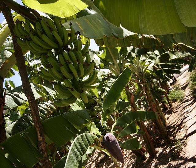 Ruanda combate la enfermedad de la banana gracias a la innovación tecnológica. Crédito: Alejandro Arigón/IPS