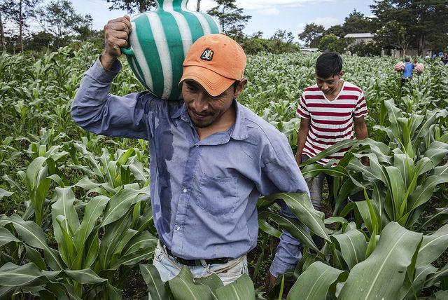 Campesinos laboran en un campo de maíz, mezclado con otras plantas, en San Lorenzo, un municipio del sur de México, que está poblado por migrantes guatemaltecos que huyeron de su país en los años 80. Crédito: FAO