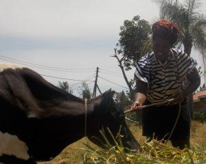 Mary Auma feeding one of the cows she bought with credit from her table banking group. Credit: Miriam Gathigah/IPS