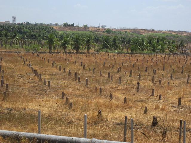 Tocones de cocoteros que secó la última sequía en São Gonçalo, en el municipio de Sousa, en el nordeste de Brasil. En 2012, las autoridades hídricas suspendieron la irrigación, para asegurar el suministro de agua para consumo humano, ante la fuerte caída del agua embalsada, que se prolongó por cinco años más. Crédito: Mario Osava/IPS