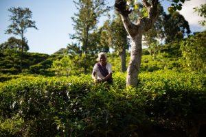 """Una agricultora trabaja en su plantación de té en el sudoccidental estado de Ketala, en India. Este es el país con mayor número de productores orgánicos, con 835.000 cultivadores, según el """"Estado Mundial de la Agricultura 2018"""". Crédito: Ilaria Cecilia/IPS."""