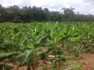 En la fotografía, un cultivo de plátanos a las afueras de Abiyán, en Costa de Marfil. La producción de alimentos se encuentra entre las principales fuentes de degradación ambiental en el mundo. Crédito: Friday Phiri/IPS.