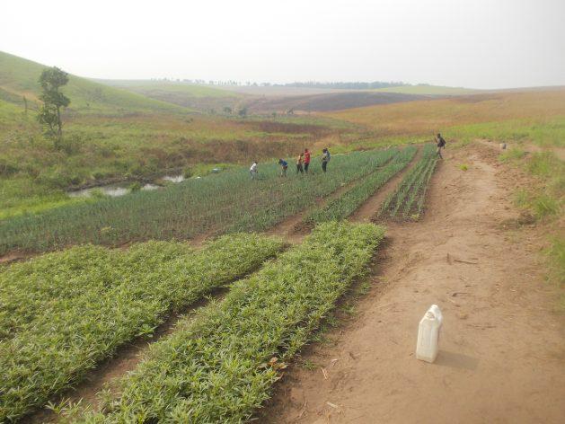 En la fotografía, pequeños agricultores en Mamani, a seis kilómetros de Kikwit, capital de la provincia de Kwilu, en República Democrática del Congo. Muchos de ellos aprenden técnicas agrícolas de forma práctica. Crédito: Badylon Kawanda Bakiman/IPS.