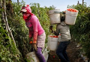 Mujeres adolescentes recolectan tomate en una finca del estado de Sinaloa, en el norte de México. Es en esa parte del país donde los jornaleros agrícolas, la mayoría migrantes temporales de los estados del sur, trabajan en condiciones de explotación y con graves violaciones a sus derechos. Crédito: Cortesía del Instituto Sinaloense para la Educación de los Adultos