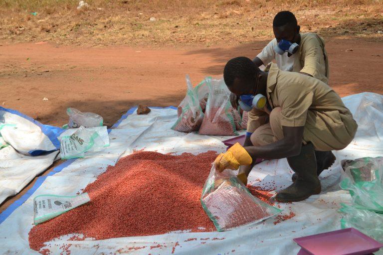 Un excombatiente rebelde de Sudán del Sur empaqueta semillas mejoradas de sorgo en Yambio. Más de 1.900 excomabtientes son beneficiarios de programas de reinserción social. Crédito: Isaiah Esipisu/IPS.
