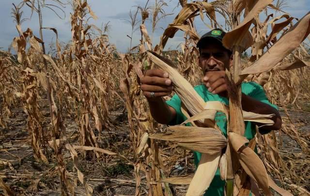 Un campesino centroamericano revisa el impacto de la sequía en una plantación de maíz. Crédito: FAO