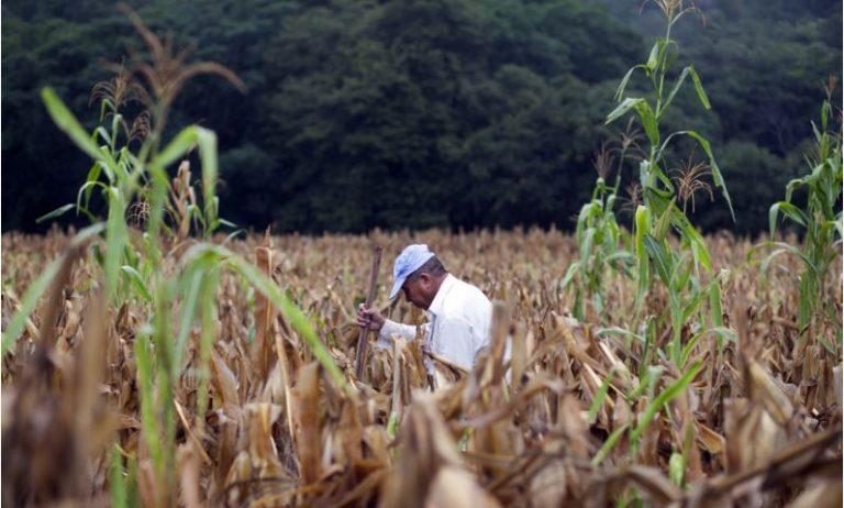 Los eventos climáticos, en especial la sequía, han colocado en emergencia alimentaria urgente a 1,4 millones de familias de agricultores de subsistencia en el Corredor Seco centroamericano. Crédito: FAO