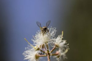 Una abeja recolecta polen y néctar en una flor de eucalipto en la Estación de Investigación Forestal Chesa en Bulawayo, en Zimbabwe. Crédito: FAO