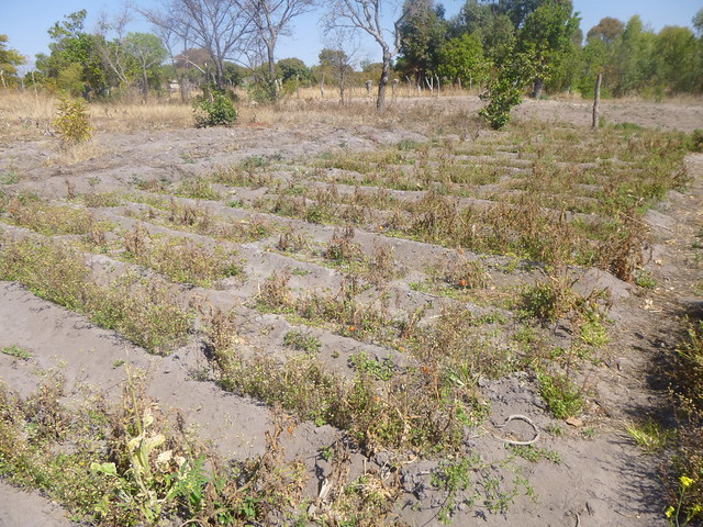 A principios de este año, el gobierno de Zimbabue anunció que tomaría todas las tierras subutilizadas y las redistribuiría entre los agricultores eficientes, sin importar su raza, color o credo, tras el fracaso de la reforma agraria impuesta por el expresidente Robert Mugabe. Crédito: Jeffrey Moyo / IPS