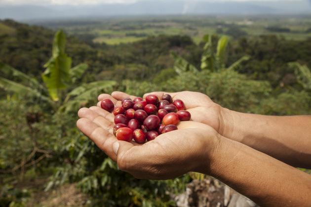 Manos de mujer sostienen unos granos de café, cultivados en cafetales en las laderas de las montañas andinas de Perú. Crédito: Adrián Portugal/PNUD Perú